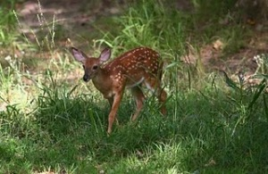 feisty-fawn