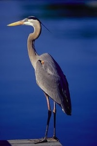 hardy-heron