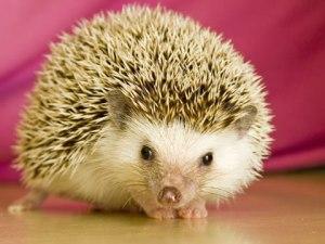 hoary-hedgehog