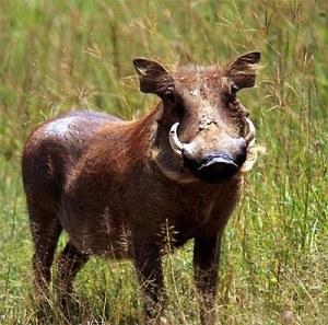 warty warthog